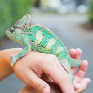 Staff holding green iguana